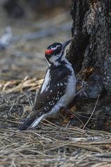 Hairy Woodpecker - Sisters - Oregon_S4E6792