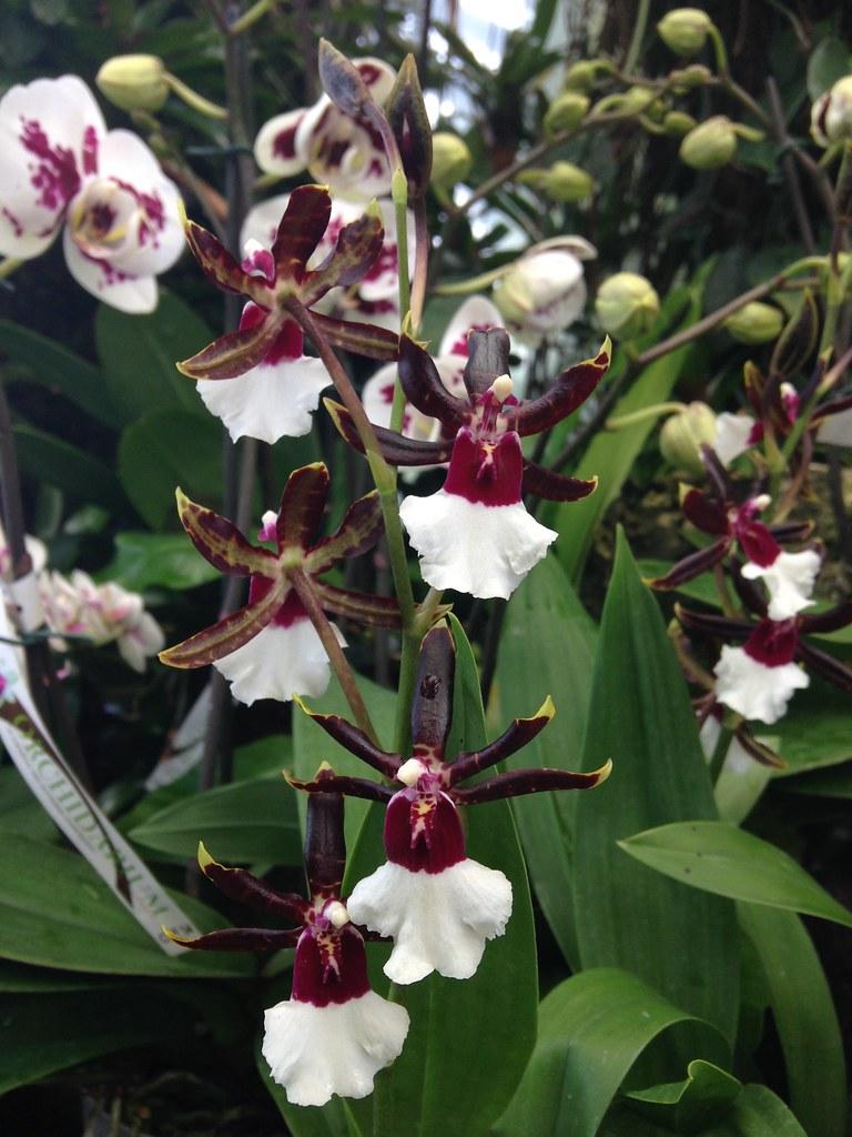 Orchidarium de Prangins 19280600516_d50cf2e18c_b