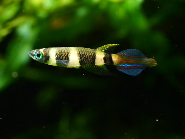 P7254177 斑節鱂