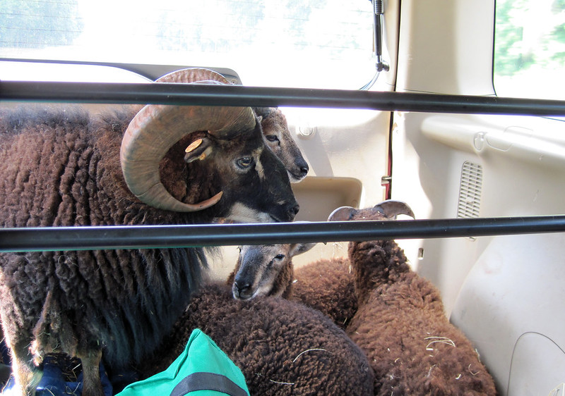 Lambs and Ram lying in the back of an SUV