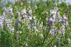 hyssopus(0.0), shrub(0.0), english lavender(0.0), flower(1.0), rosemary(1.0), plant(1.0), lilac(1.0), wildflower(1.0), flora(1.0), meadow(1.0),