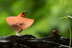 Strawberry Poison-dart Frog (Oophaga pumilio) pair inside fungus