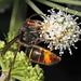 Vespa velutina (Asian Hornet)