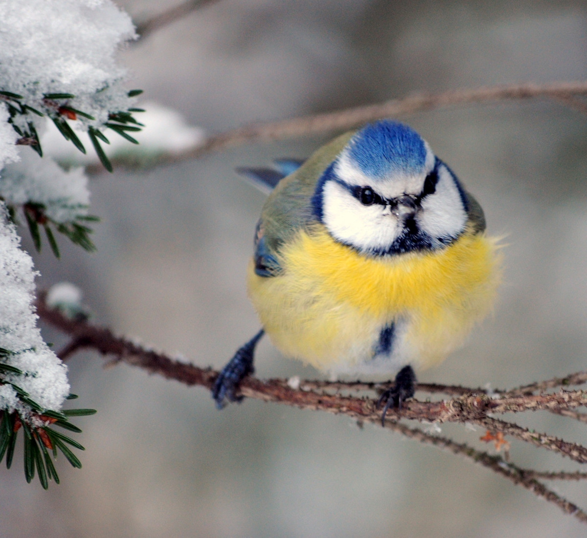 Blue Tit. Credit Ari Helminen