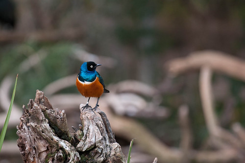 Superb Starling.