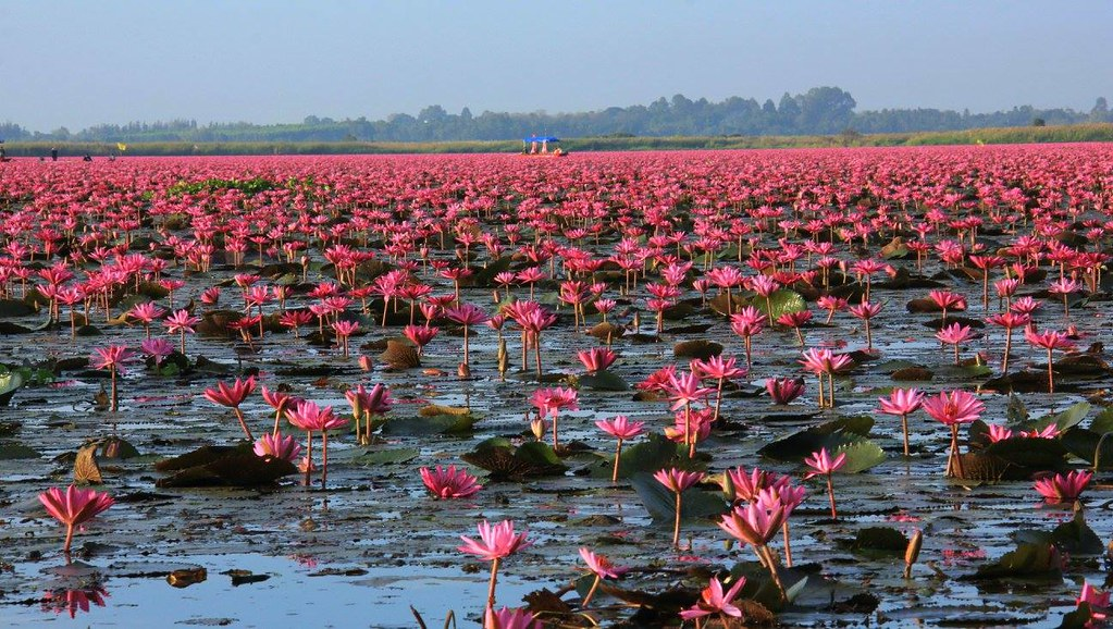 Millions of lilies blooming at Red Lotus Sea