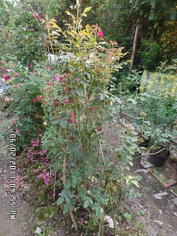 Hình dáng tổng thể của cây hồng ngoại The Prince Rose