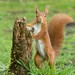 Red Squirrel by KHR Images