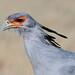 Secretary Bird Etosha Namibia_TY_BB0T3978 by YOYO182