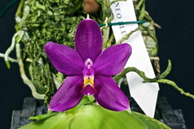 Phalaenopsis bellina borneo blue 19494820870_065f290392_z