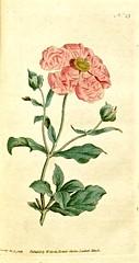 Rockrose (1788)