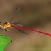 Red-and-black Flatwing - Heteragrion erythrogastrum (Heteragrionidae) 115v-16521