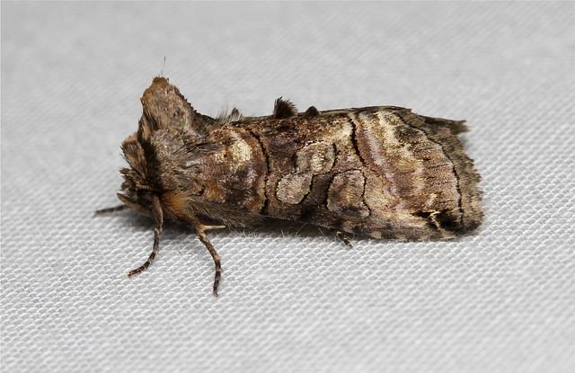 Abrostola urentis (Spectacled Nettle Moth) Hodges # 8881