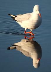 gull (2)