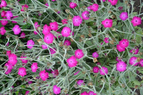 LYCHNIS x walkeri 'Abbotswood Rose'