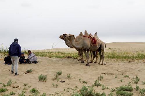 Camels at Dörgön Nuur