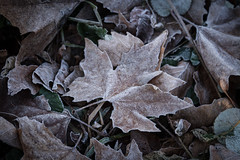 Frosty Maple Leaf at Anglesey Abbey