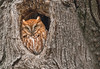 Eastern screech owl - red morph: Megascops asio