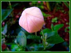 Platycodon grandiflorus with captivating balloon like flower buds pink coloured balloon like flower buds of platycodon grandiflorus balloon flower chinese mightylinksfo