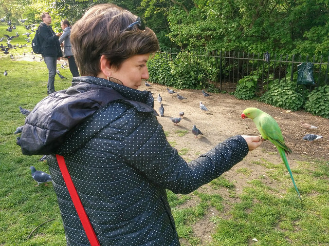 making friends with a rose-ringed parakeet