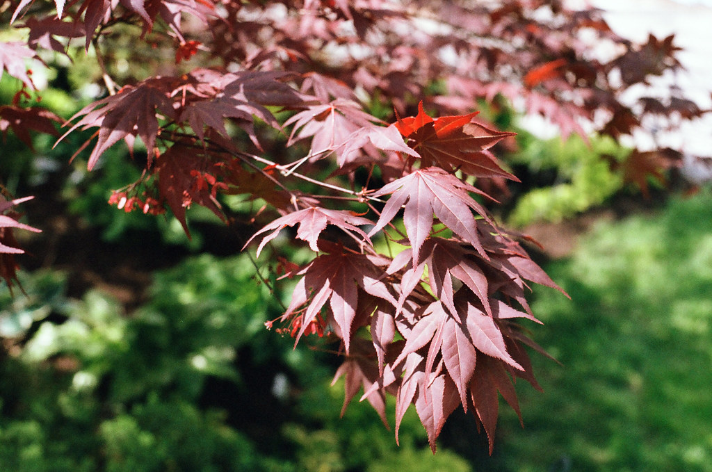 Japanese maple leaves 1
