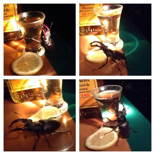 К нам пришел жук-рогач, как очевидно, с целью выпить! Фото не постановочные! #старыйкрым