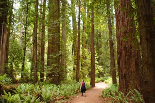 california trees redwoods stoutgrove rhiannon