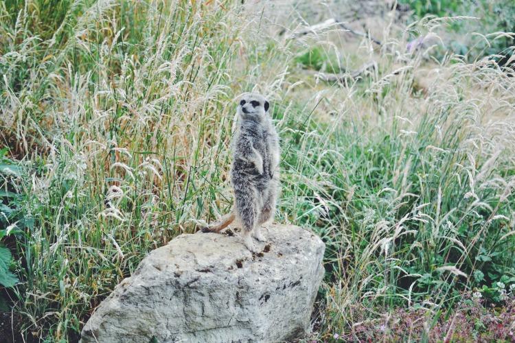 three meerkat stone