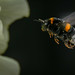 Pollentransporter fertig zur Landung by fotomanni.de