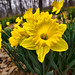 Daffodils, Hubbard Park