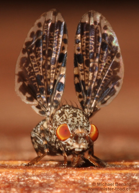 Peacock Fly, front view