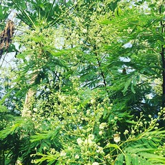 acacia augustifolia-- nurse/ overstory/ pollinator/ nitrogen fixing agroforesrry champion, featured here in association with a papaya