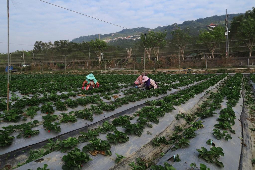阿蓮三本草莓園 (5)