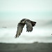 【遊隼】Peregrien Falcon by Ryan_Zeng
