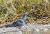 Rock Pigeon JN103904