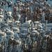 Sacramento National Refuge_Snow Geese_Gaggle by Barking Dog Photos_Bruce Gregory