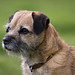 A beautiful Border Terrier out on the Yorkshire Dales