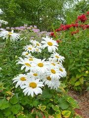 annual plant, flower, garden, plant, marguerite daisy, chamaemelum nobile, tanacetum parthenium, wildflower, flora, oxeye daisy,