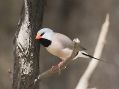 Black-throated Finch _ JBP