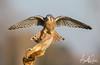 Male American Kestrel