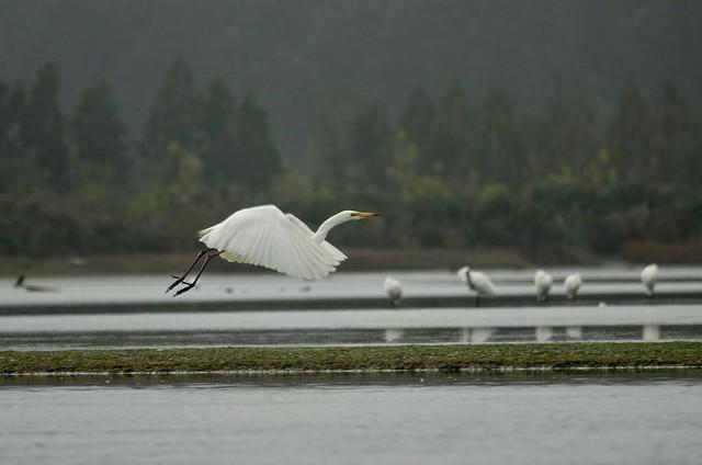 A white heron taking, Sony DSC-RX10M3, Sony 24-600mm F2.4-4.0