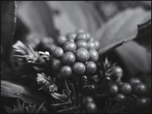 Berries in Evergreens -BW  52-52
