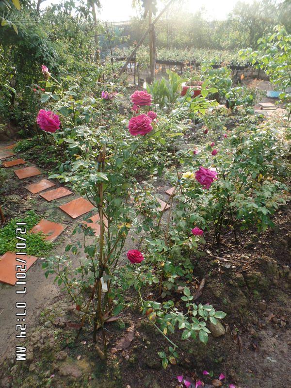 Bụi hồng The Prince rose tại vườn ở Sa Đéc