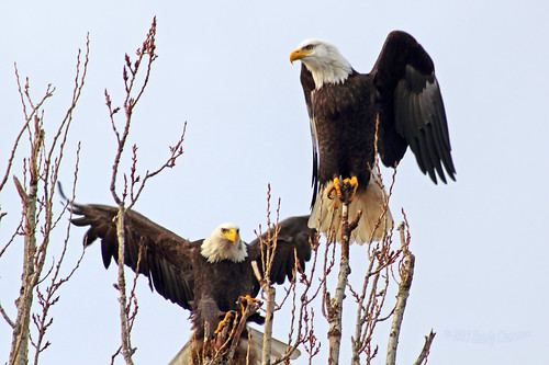 Bald Eagles 17-0115-8639