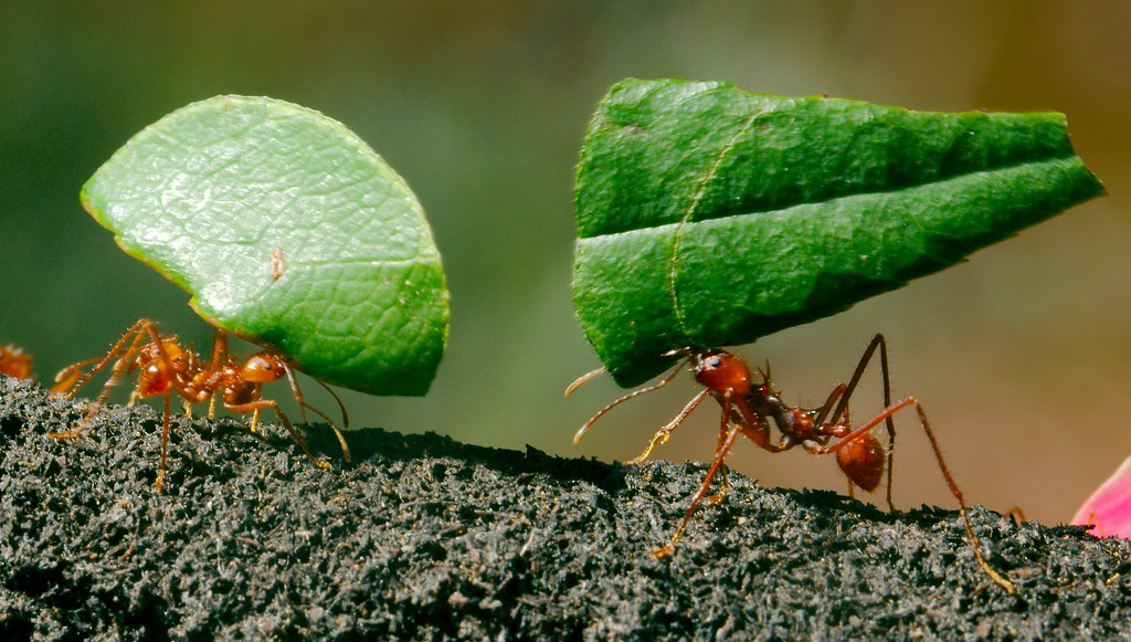Leaf Cutter Ants_6