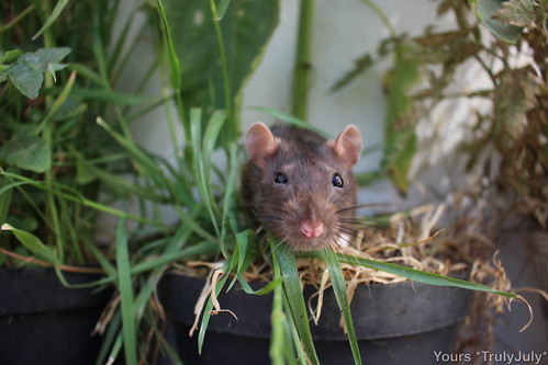 Rattie Bean enjoys hanging out in the rattie garden.