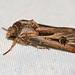 Small photo of Dark Sword Grass Moth (Agrotis ipsilon)