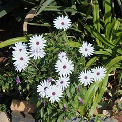 grass(0.0), dorotheanthus bellidiformis(1.0), annual plant(1.0), flower(1.0), plant(1.0), daisy(1.0), wildflower(1.0), flora(1.0), ice plant(1.0),