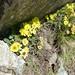 Geum montanum (Kerrie Porteous)
