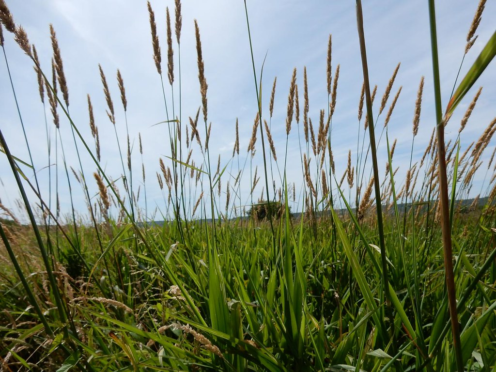 Grass, Amberley Wild Brooks Pulborough Circular